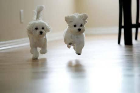 maltese-puppies.jpg